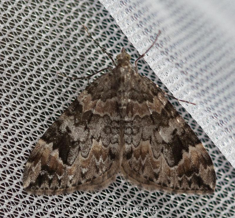 Dark Marbled Carpet (Dysstroma citrata)