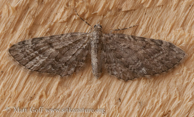 Small Moth (Eupithecia sp)