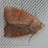 American Ear Moth (Amphipoea americana)