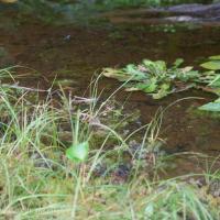 Wet Dandelion
