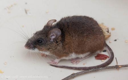 Deer Mouse (Peromyscus keeni)
