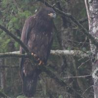 Hatch Year Bald Eagle