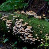 Pholiota astragalina