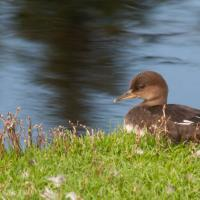 Hooded Merganser at Swan Lake