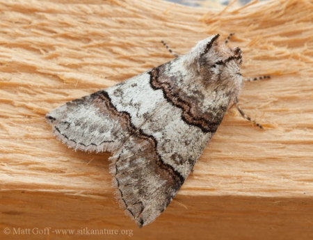 False Owlet Moth (Ceranemota fasciata)