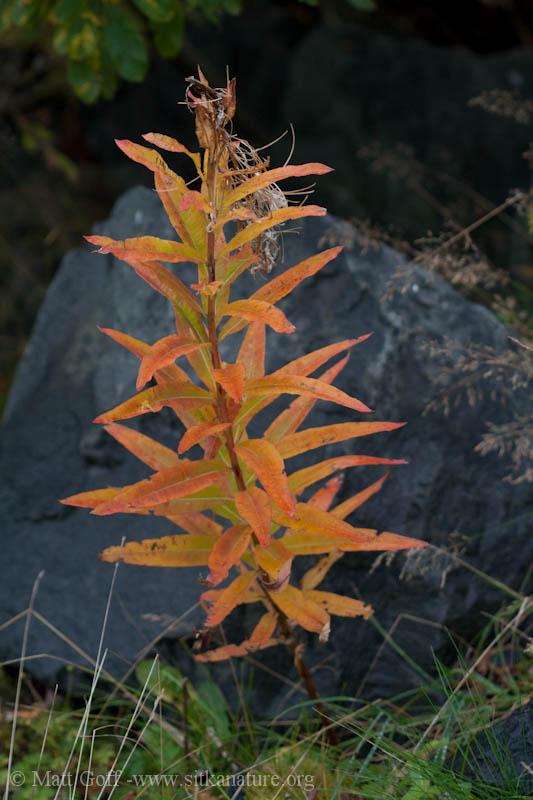Colorful Fireweed