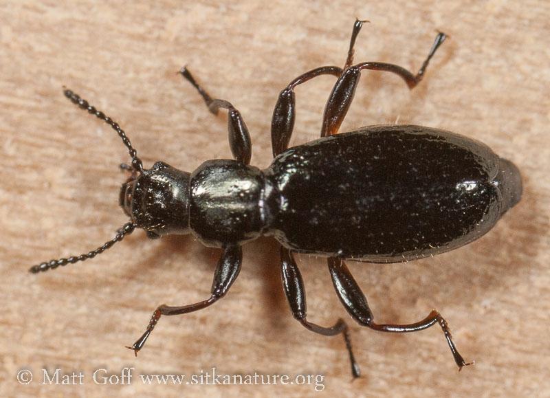 Beach Beetle (Aegialites debilis)