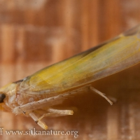 Leaf Hopper (Edwardsiana commissuralis)