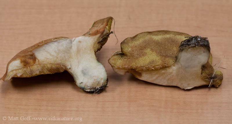 Suillus caerulescens