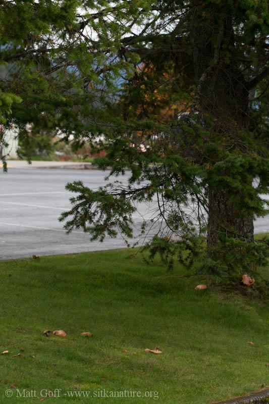 Suillus caerulescens Habitat