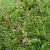Dicranum pallidisetum