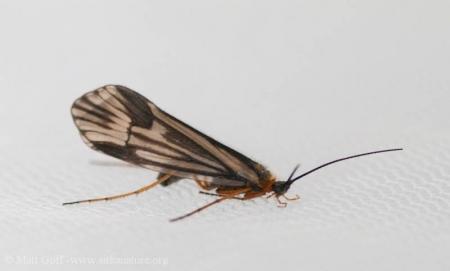 Northwestern Caddisfly (<em>Halesochila taylori</em>)