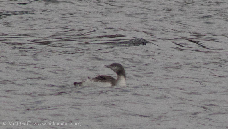 Juvenile Red-throated Loon