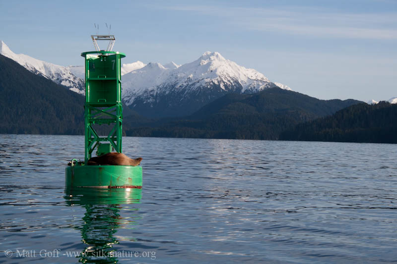 Steller's Sea Lion on Buoy