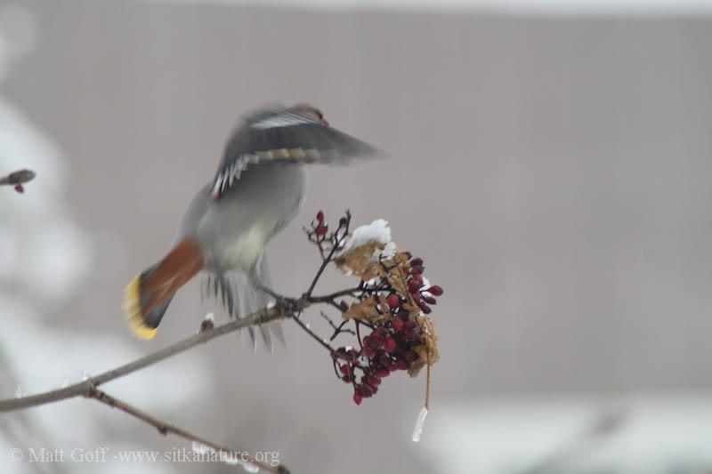 Bohemian Waxwing (<em>Bombycilla garrulus</em>) Takes Flight