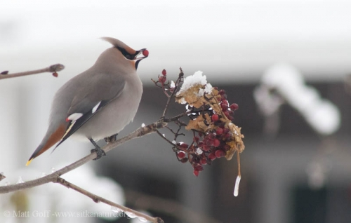 Bohemian Waxwing eating European Mountain Ash Berry.