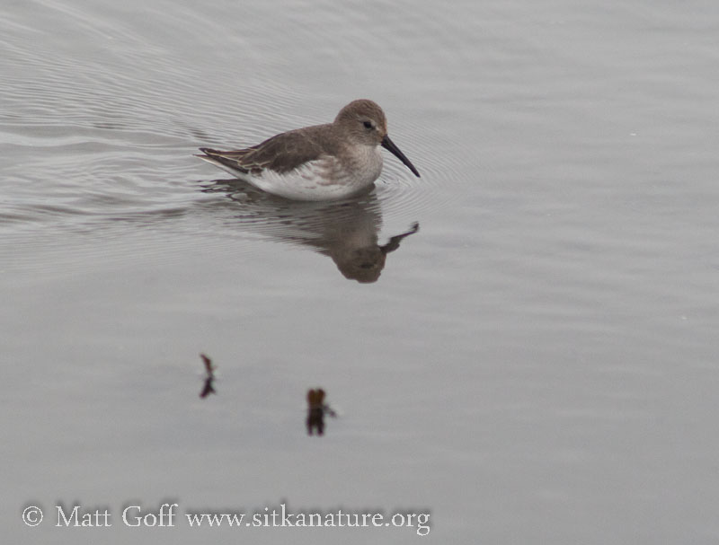 Dunlin at the Turnaround