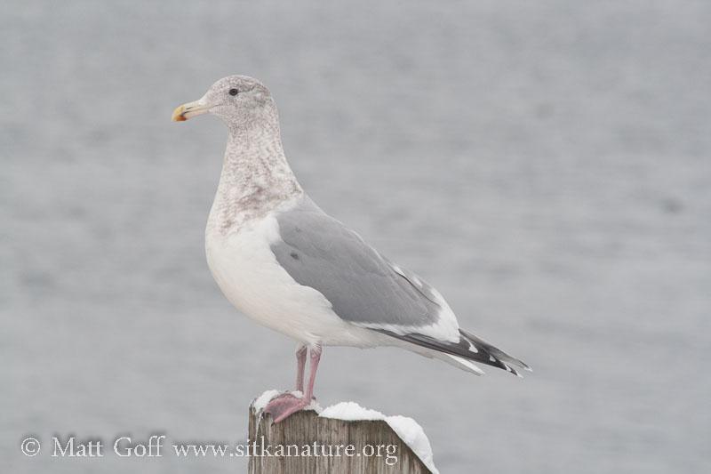 Herring X Glaucous-winged Gull Hybrid?