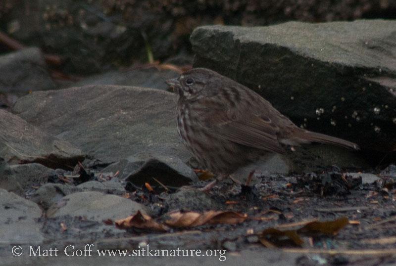 Song Sparrow on the Beach