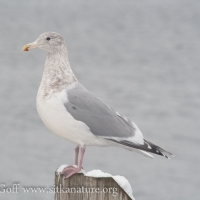 Herring X Glaucous-winged Gull Hybrid?