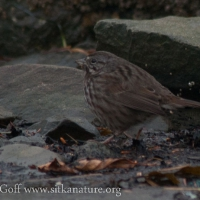 Song Sparrow on the Beach