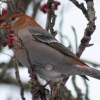 Pine Grosbeak eating Mountain Ash Berries