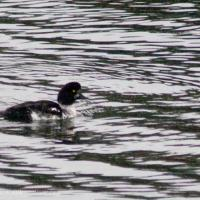 Young Male Barrow's Goldeneye