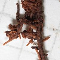 Hemlock Rootlets
