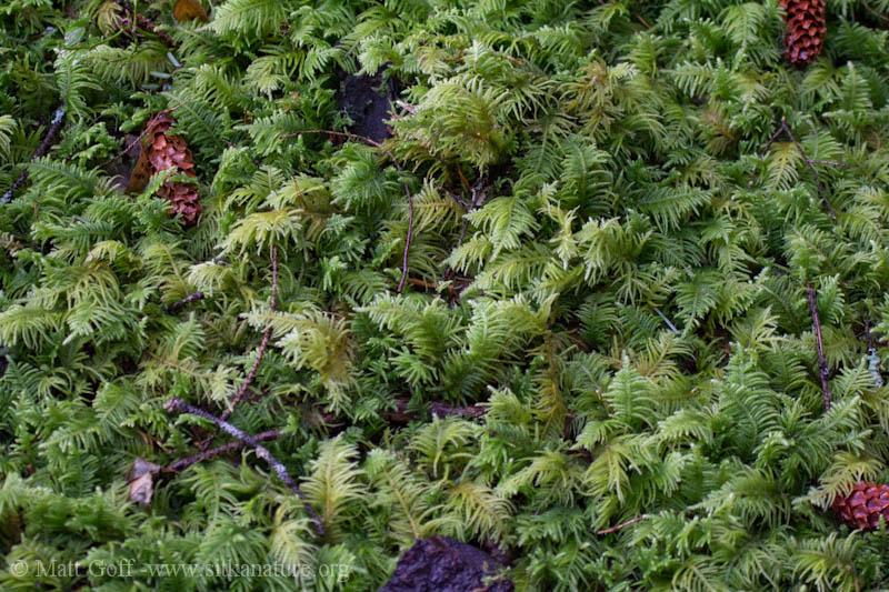Eurhynchium oreganum