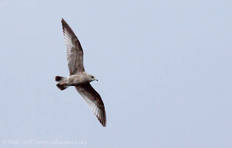 Immature Mew Gull in Flight