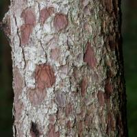 Sitka Spruce (Picea sitchensis) Trunk