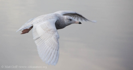 First year Glaucous Gull