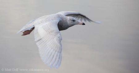 First year Glaucous Gull