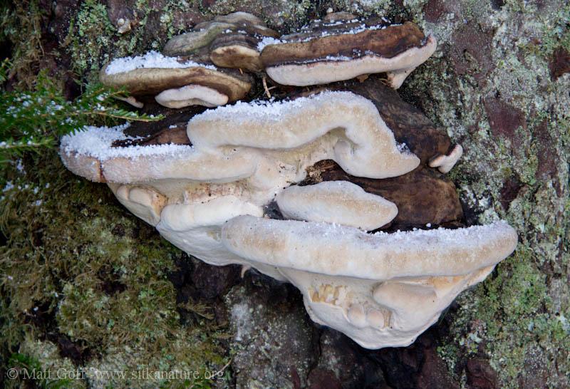 Bear Breaad (Fomitopsis pinicola)