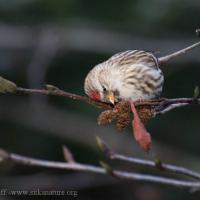 Common Redpoll on Alder