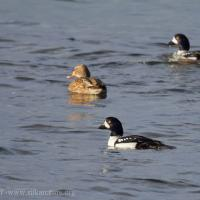 Barrow's Goldeneye and Mallard