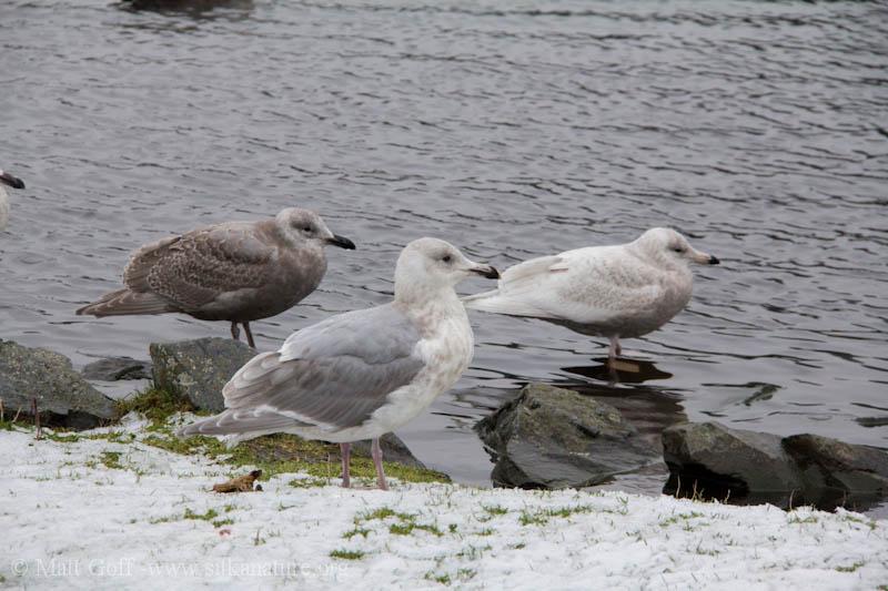 Swan Lake Gulls