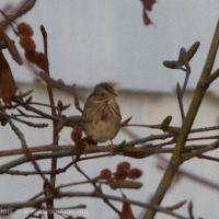 Late Lincoln's Sparrow