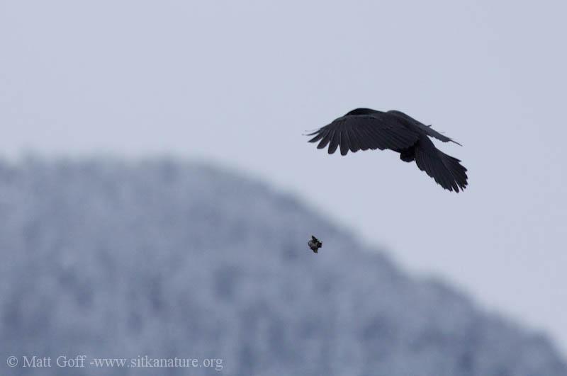 Northerwestern Crow Cracking Shells
