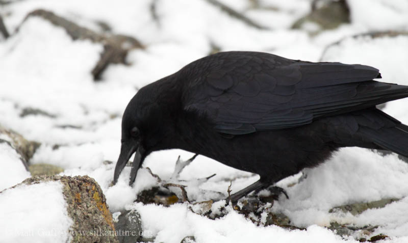 Northerwestern Crow eating Snow