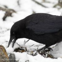 Northerwestern Crow eating Snow