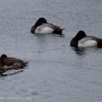 Ring-necked Duck and Scaups