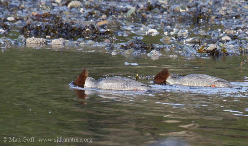 Female Common Mergansers