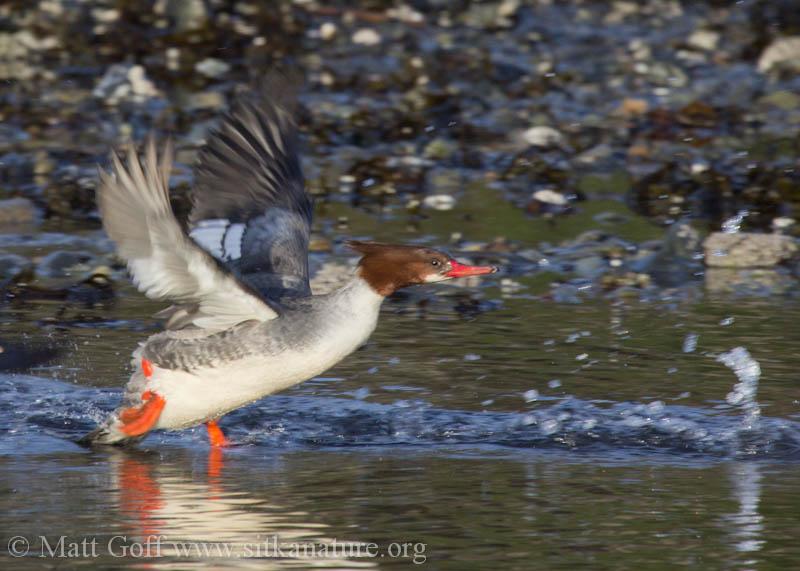Common Mergansers Taking Flight
