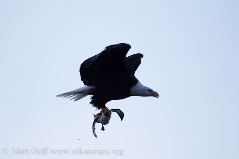 Bald Eagle with Common Murre