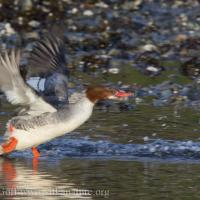 Common Mergansers Taking Flight
