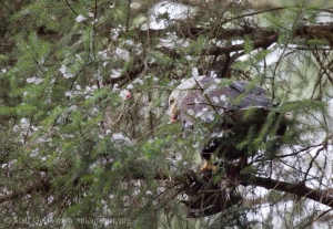 Bald Eagle Plucking Prey