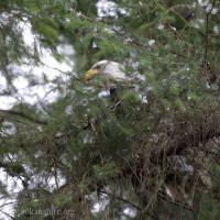 Bald Eagle Plucking Prey
