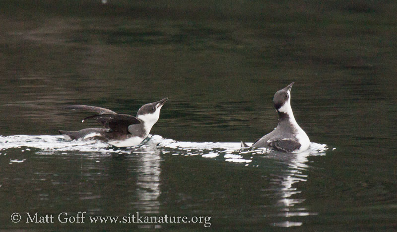 Marbled Murrelets