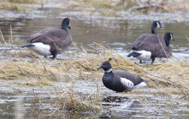 Brant and Canada Geese